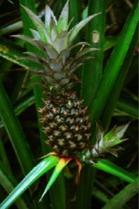 2 au 6 juin. Fêter l'ananas sur l'archipel d'Eleuthera aux Bahamas