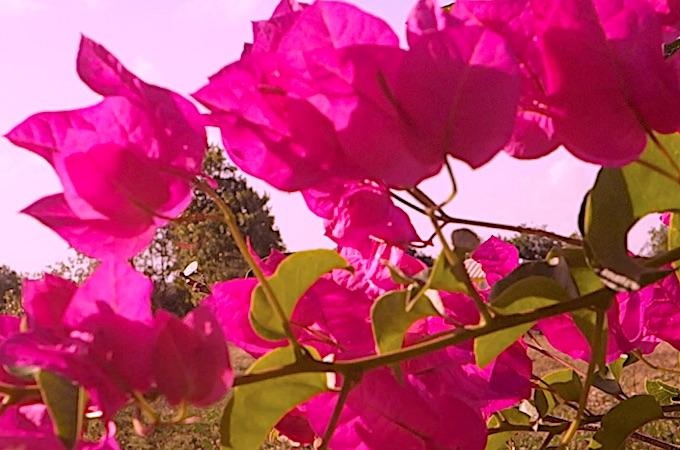 Après la Saint-Valentin, quelques fleurs des tropiques