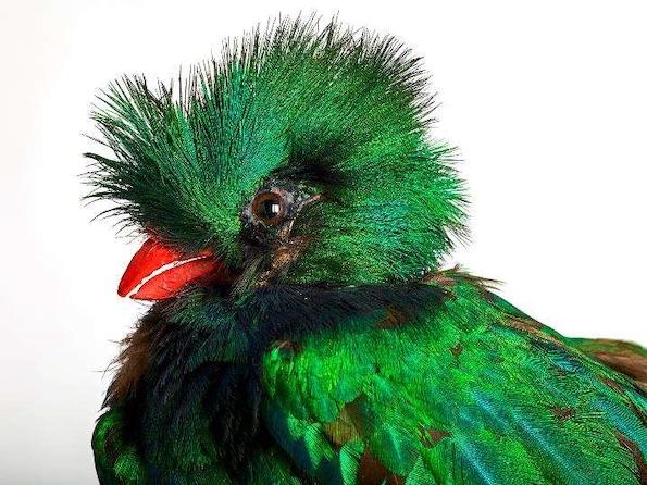 Quetzal resplendissant Pharomachrus mocinno, Amérique du Sud photographie Pierre-Olivier Deschamps, Agence VU