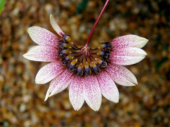 Cirrhopetalu gagnepainii var. purpurreum © MNH