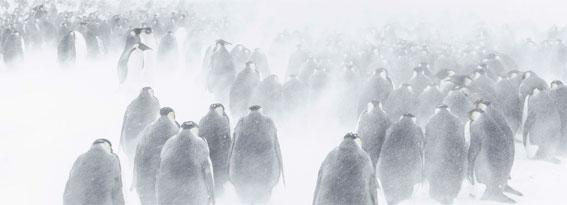 La colonie d'empereurs dans la tourmente © Vincent Munier