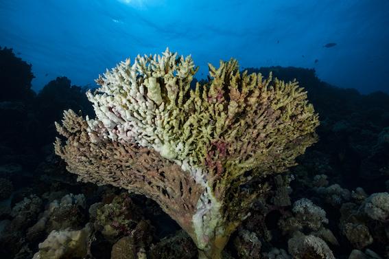 Corail blanchi en train de mourir  © Alexis Rosenfeld