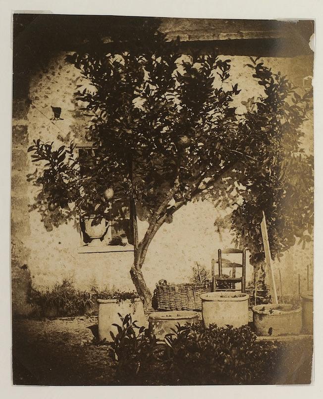 Grasse, citronnier Charles Nègre Vers 1852, Grasse Photographie sur papier albuminé Musée d'Art et d'Histoire de Provence, inv. 2010.0.237 Achat, 2004