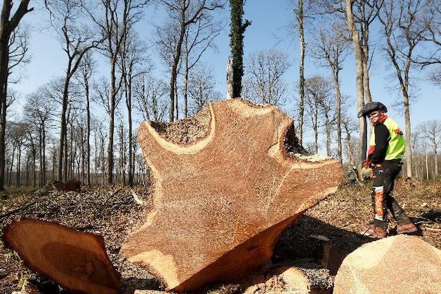 Récolte du chêne numéro 1, en forêt domaniale de Bercé (Sarthe) © David Bordes / Etablissement public chargé de la conservation et de la restauration de la cathédrale Notre-Dame de Paris