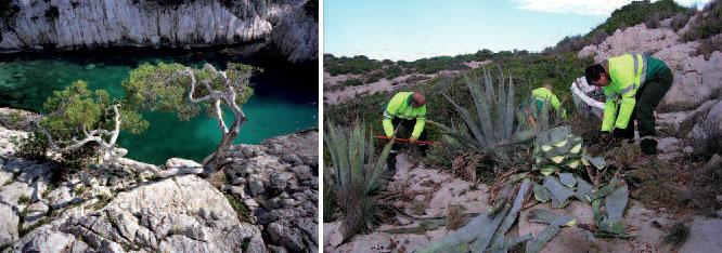 Calanque et Arrachage de plantes invasives © ONF