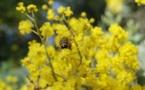 Rayol-Canadel-sur-Mer (83) : Visite thématique, L'Odyssée des mimosas
